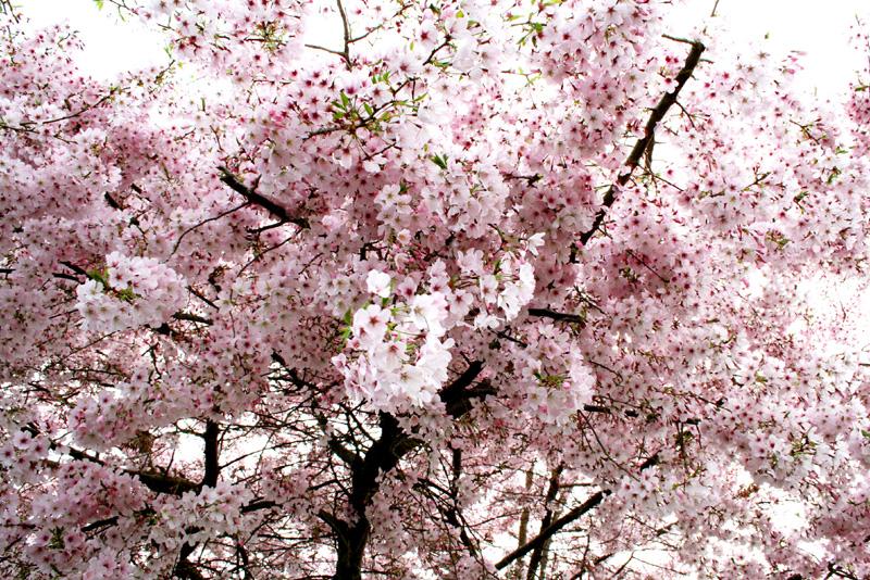 Cherry tree blog